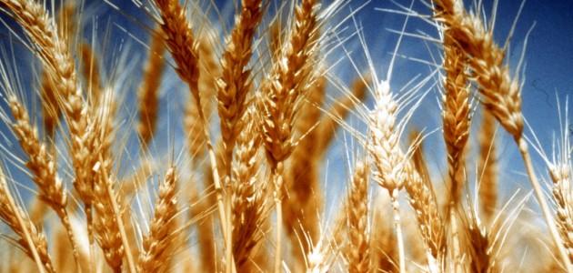 Martta Artan Yağışlar Buğdaya Yaradı