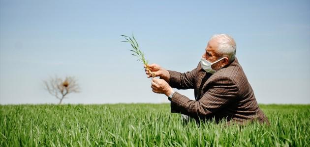 Buğdayda Rekolte Kaybı Bekleniyor
